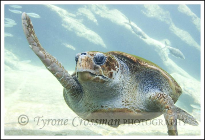 Loggerhead Turtle at Ushaka Marine World, Durban, South Africa. Photograph attribution to Tyrone Crossman Photography